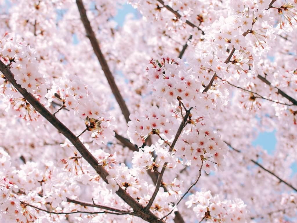 Top 5 spring-blooming trees