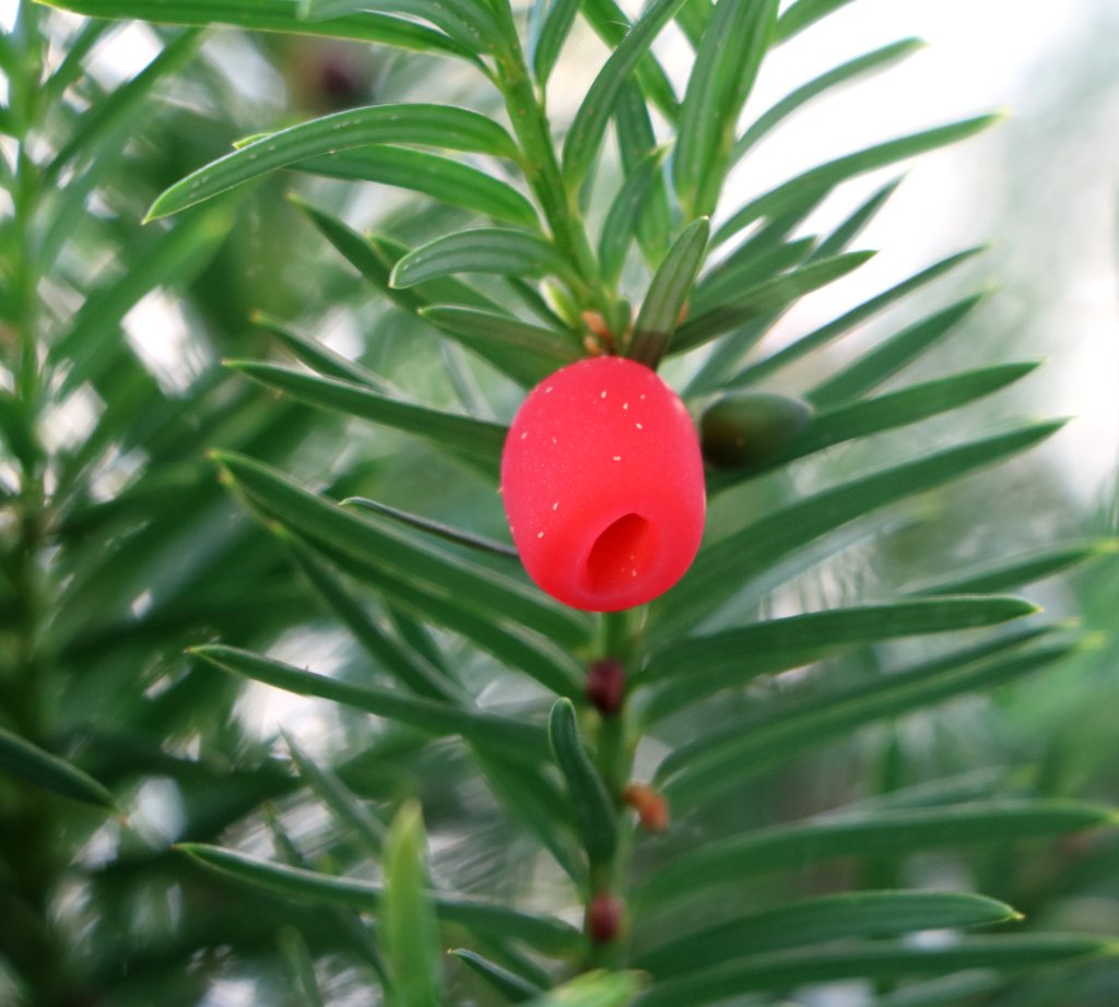 Yew tree twig with a single red berry.