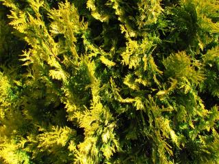 Cyprès de Lawson jaune - Chamaecyparis lawsoniana