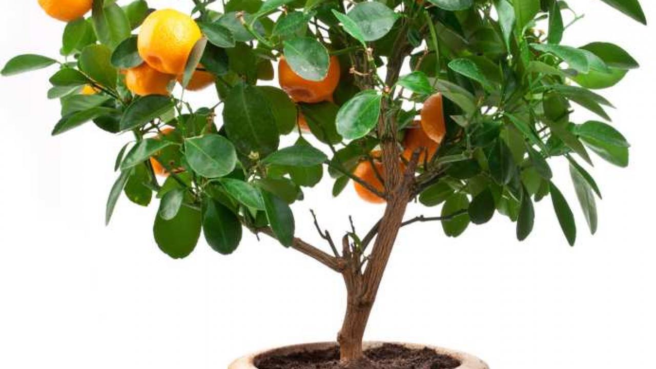 Arbre Fruitier En Pot Interieur oranger en pot : plantation, entretien et récolte des oranges