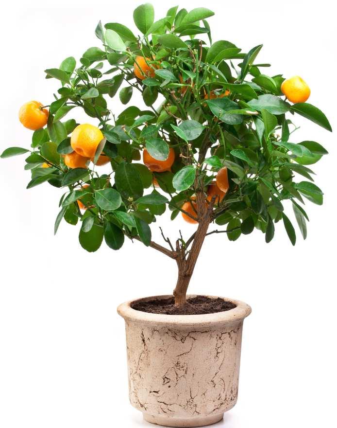 Oranger En Pot Plantation Entretien Et Recolte Des Oranges