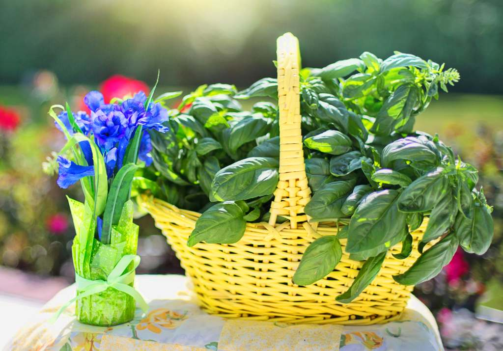Basil health benefits and therapeutic value