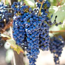 Grapevine, producing nice bunches of grapes