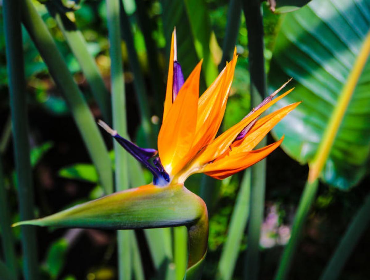 Oiseaux de paradis : plantation, taille et conseils d'entretien