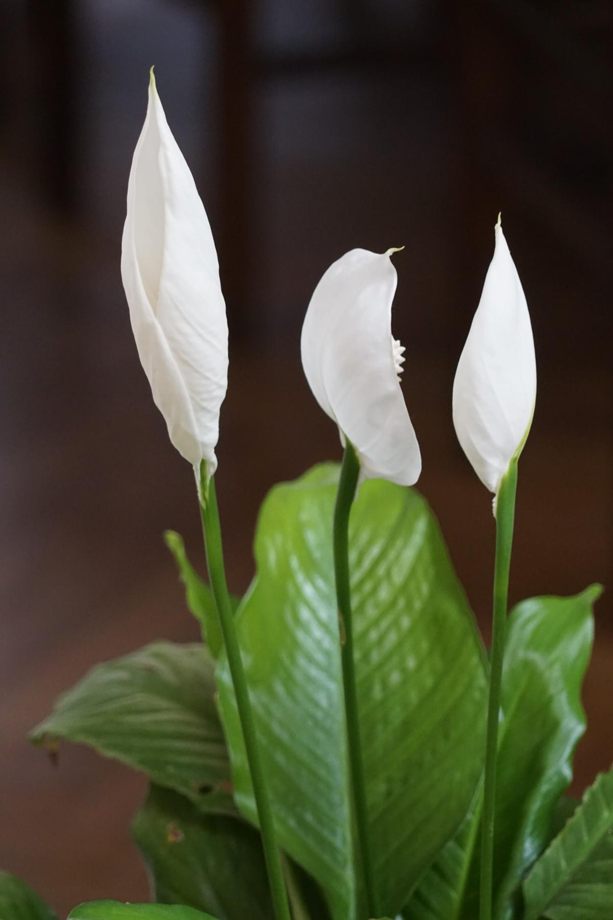 """Spathiphyllum, the """"peace lily"""""""