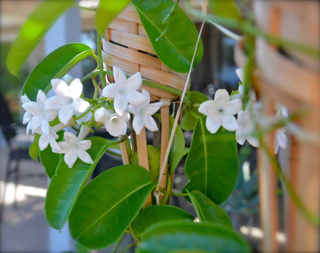 Stephanotis laced into a wickered lattice (torches in this case).