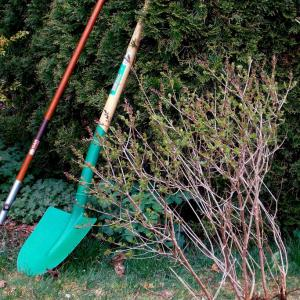 Spades and shovels with an uprooted bush to show the consequences of transplant shock.