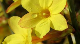 Two yellow winter jasmine flowers.