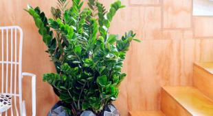 Multiplying Zamioculcas Zamiifolia Propagation Includes