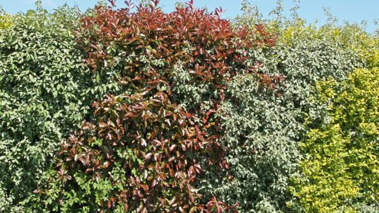 Arbuste Fleuri Feuillage Persistant créer une haie d'arbustes persistants, faire le bon choix