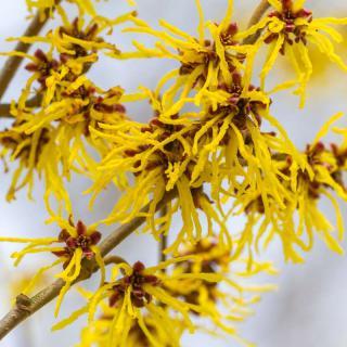 hamamelis fleur