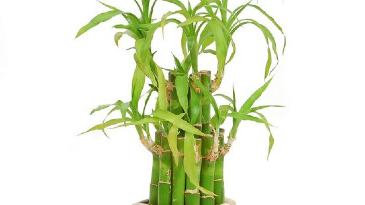 Comment Faire Pousser Bambou lucky bambou : exposition, arrosage et conseils d'entretien