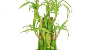 Lucky bambou