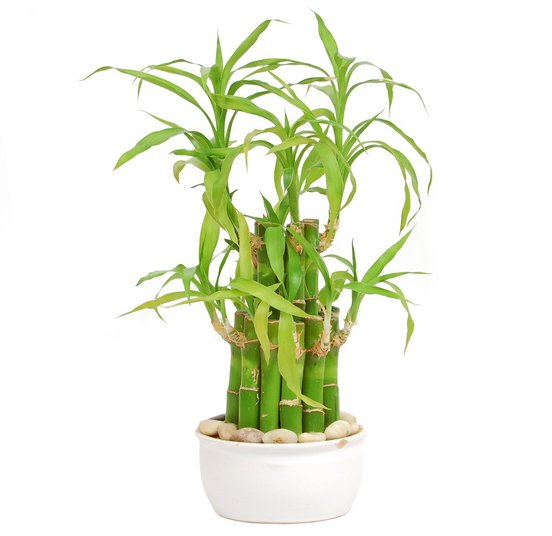 Lucky bamboo - advice on caring for it on succulents houseplants, orchid houseplants, bromeliads houseplants, cactus houseplants, ivy houseplants, ferns houseplants, tree houseplants, butterfly houseplants, palms houseplants,