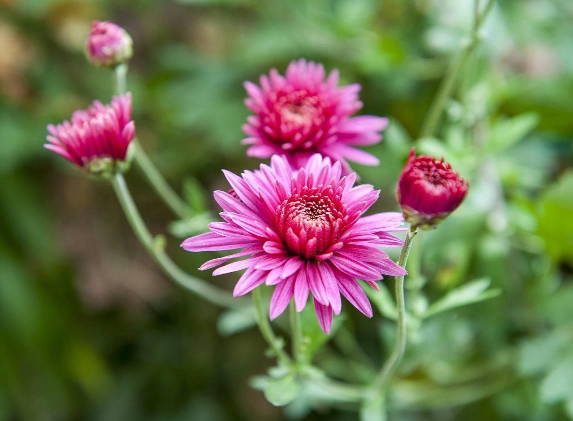 Marguerite automne