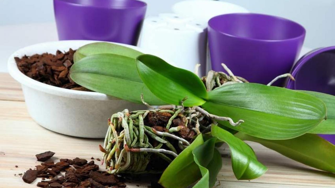 Comment Planter Une Orchidée rempotage d'une orchidée : conseils pour bien rempoter (+
