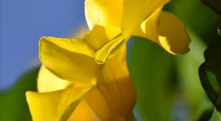 Allamanda vine, the golden trumpet