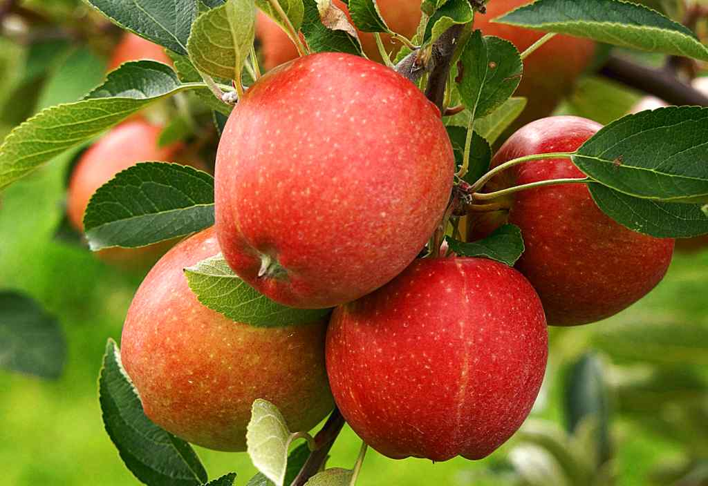 Apple tree, the joy of biting your own sweet, crunchy apples