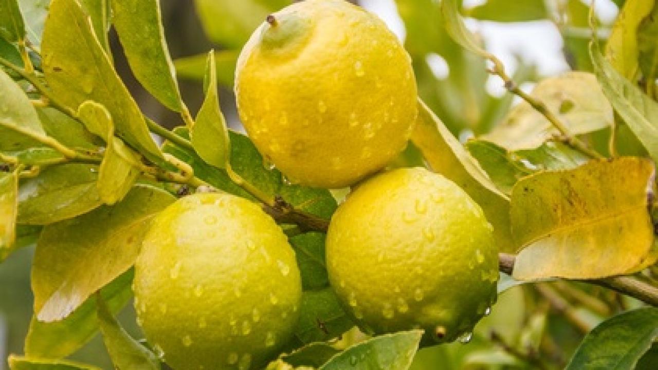 Comment Cultiver Un Citronnier En Pot citronnier et arrosage : fréquence, besoin et apport d'engrais