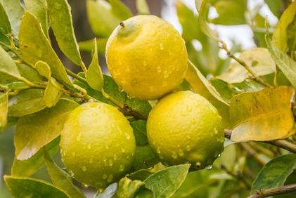 arrosage citronnier