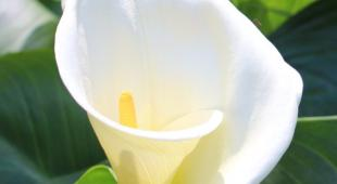 White arum flower unfolding, with leaves.