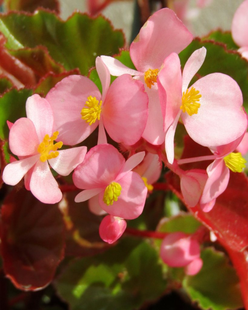 Beautiful pink begonia flowers with yellow centers.