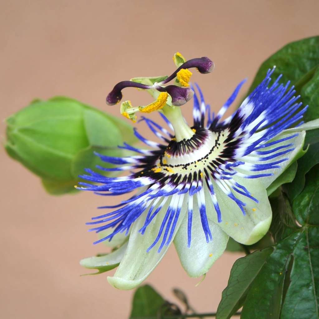 Blue Passion Flower Growing Care Health Benefits And Description