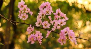 bouturage lilas des indes