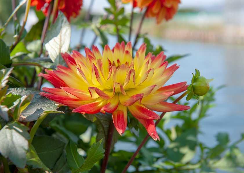 fleur a bulbe