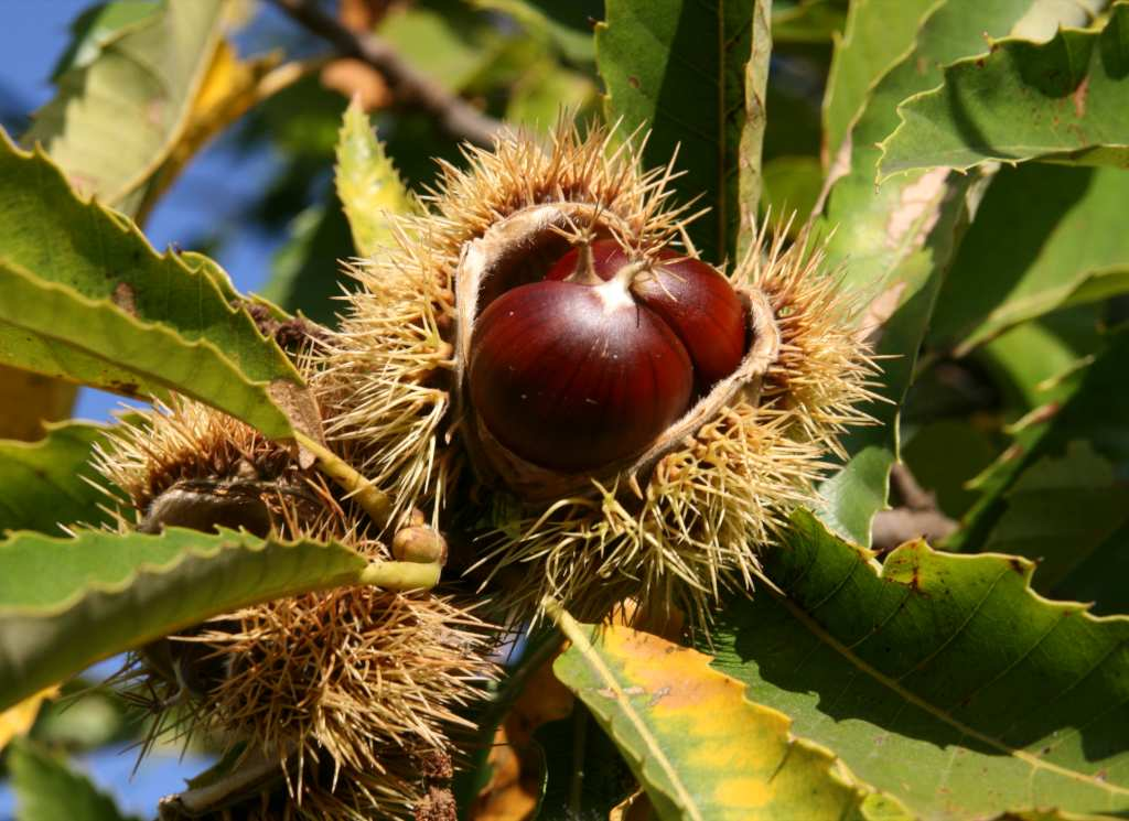 The Chestnut, fruit that symbolizes fall