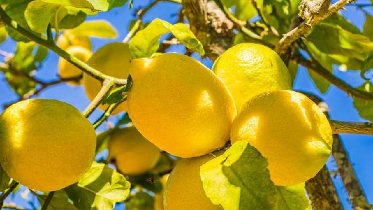 Comment Cultiver Un Citronnier En Pot citronnier des 4 saisons : conseils d'entretien