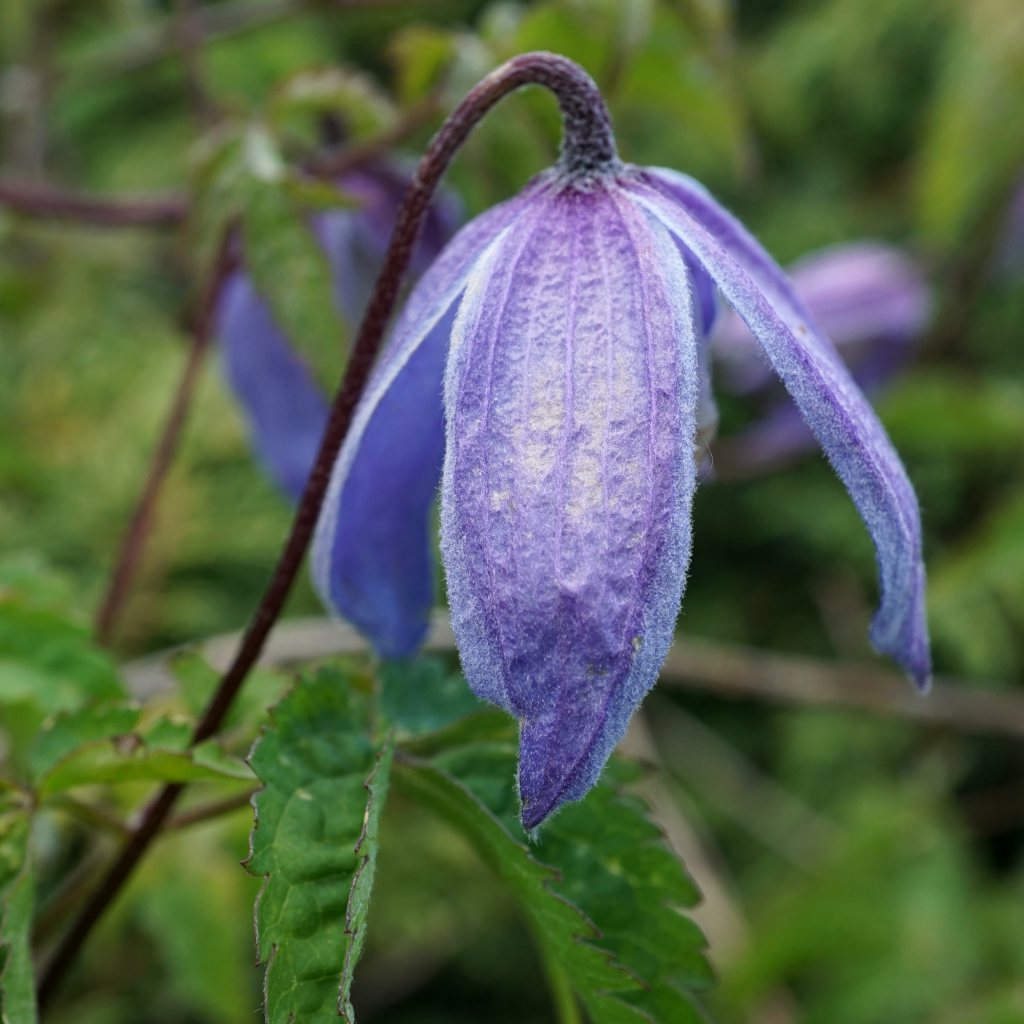 Clematis alpina, an abundance of blue
