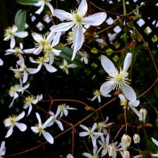 Clematis armandii, early and fragrant