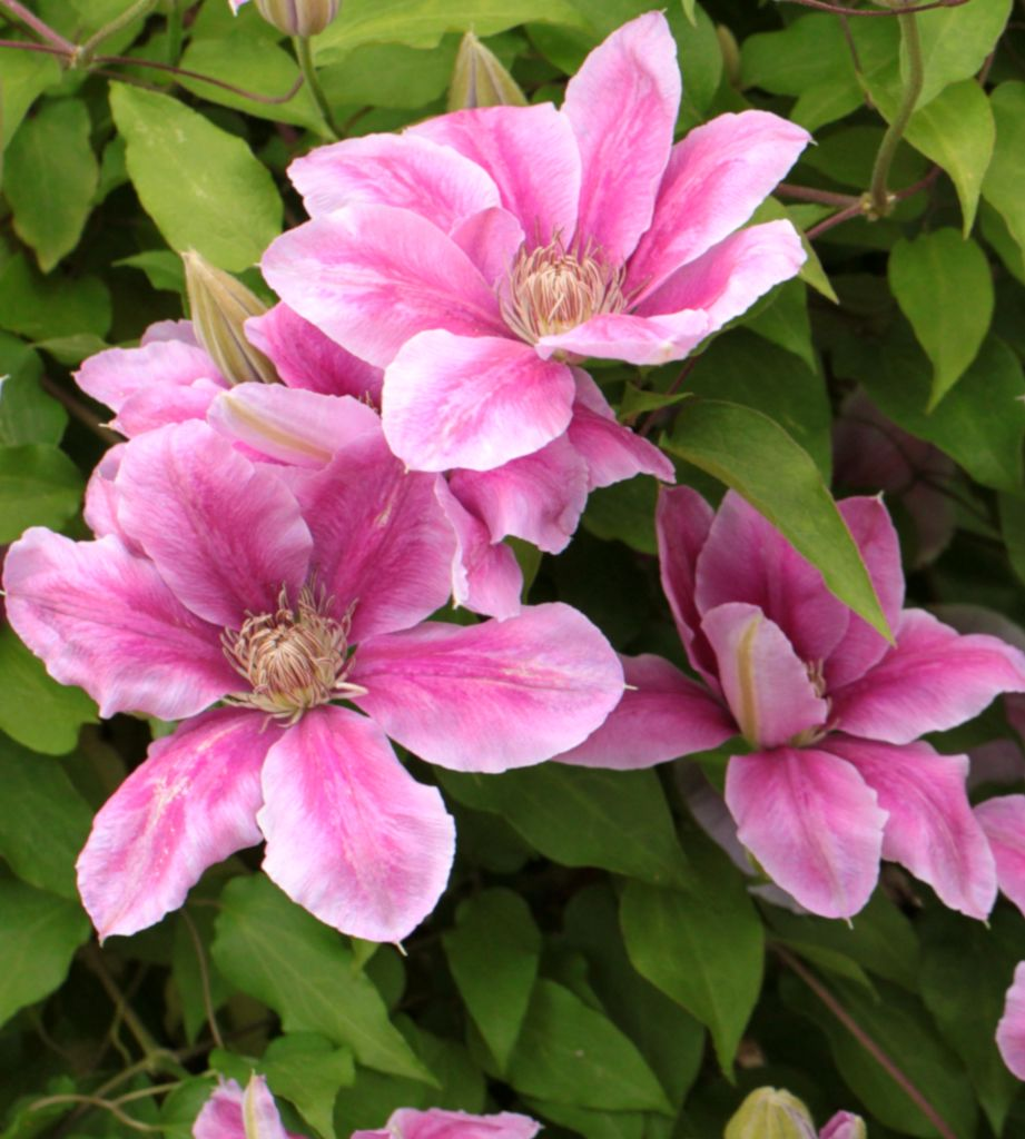 Clematis, queen of vines