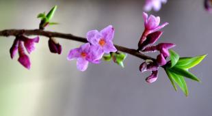 A pjnk-flowered branch of a daphne shrub.