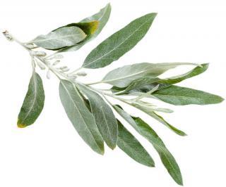 feuille elaeagnus angustifolia