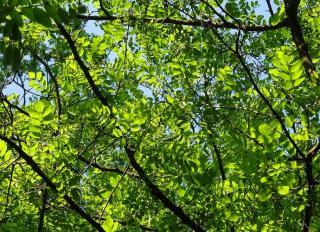 feuille robinier acacia