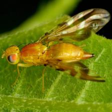 Fruit flies, how to fight them