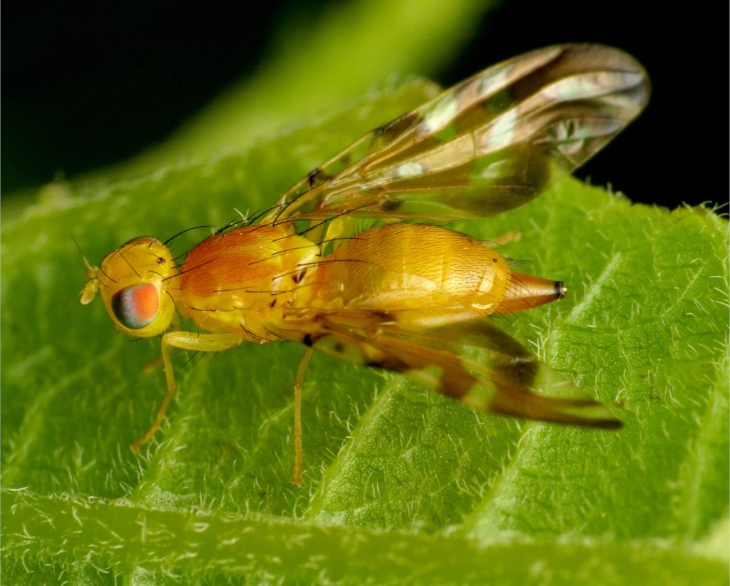 Fruit fly, yellow, on bright green leaf with black background.