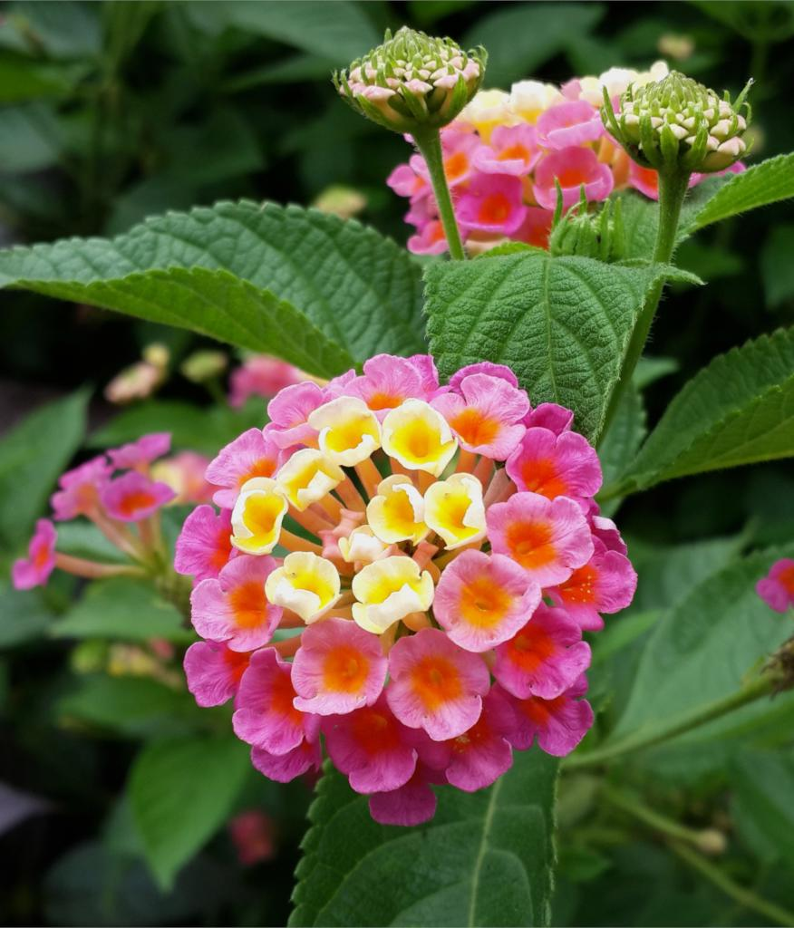 Lantana, a beautiful perennial shrub