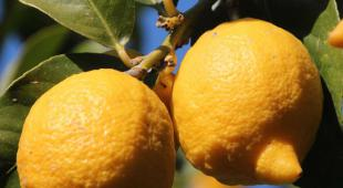 A healthy lemon tree branch with two ripe yellow lemons.