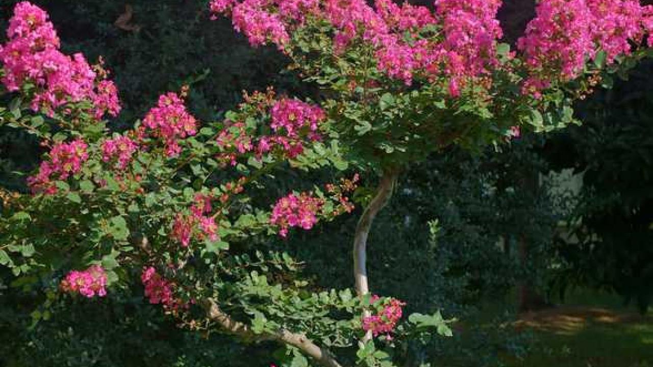 Planter Un Lilas En Pot lilas des indes : plantation, taille et conseils d'entretien