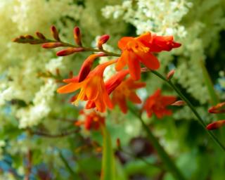 montbretia plante fleur