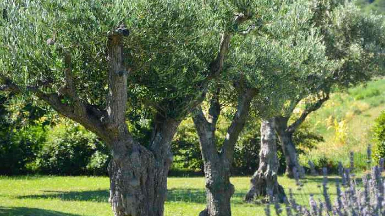 Il Cultive L Olivier olivier : plantation, taille et entretien de l'olivier