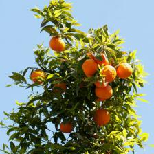 Orange tree, producing beautiful oranges