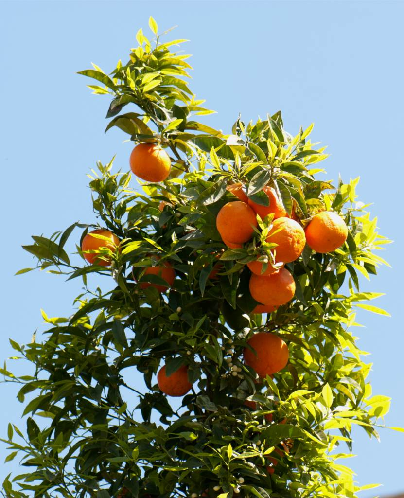 Orange tree, producing beautiful oranges