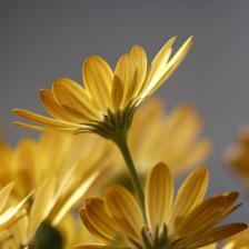Osteospermum – astounding daisies galore in the garden