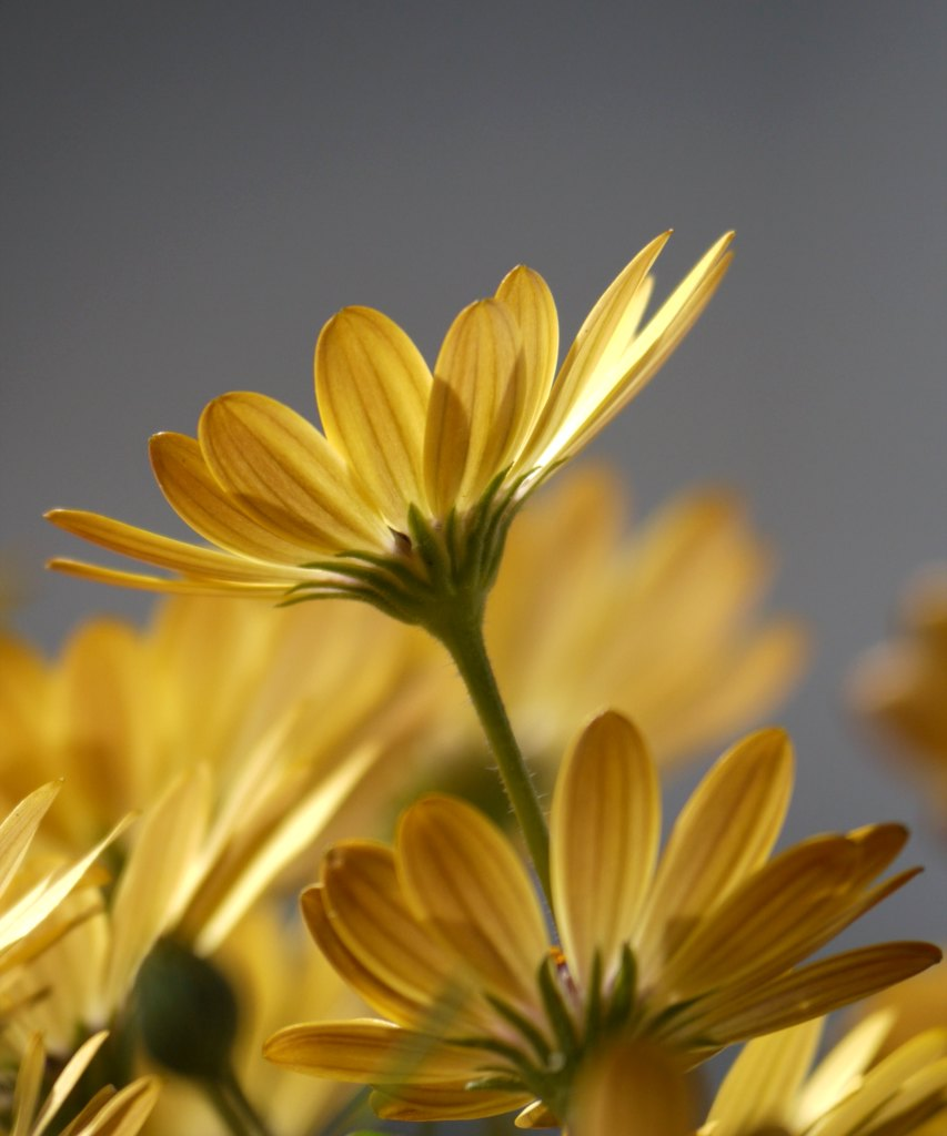 Yellow osteospermum flowers indoors.