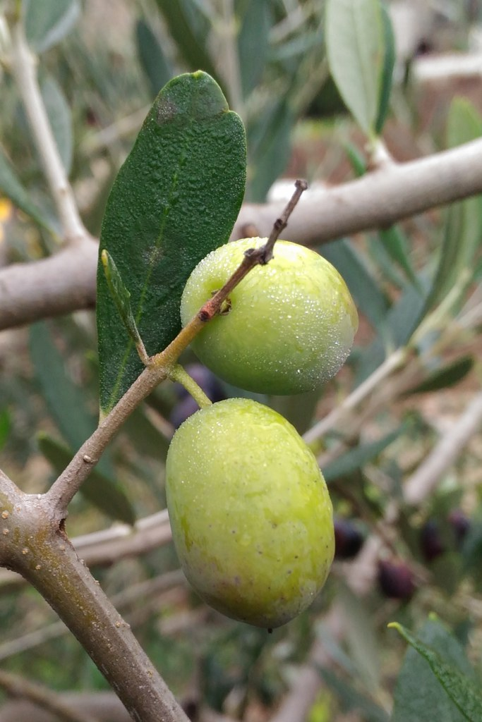 Plump Picholine olives on the branch.