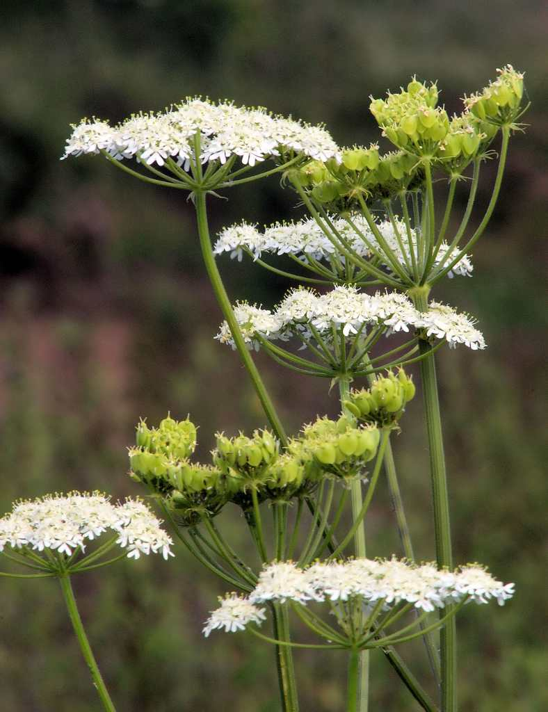 Aniseed plant flower umbels.